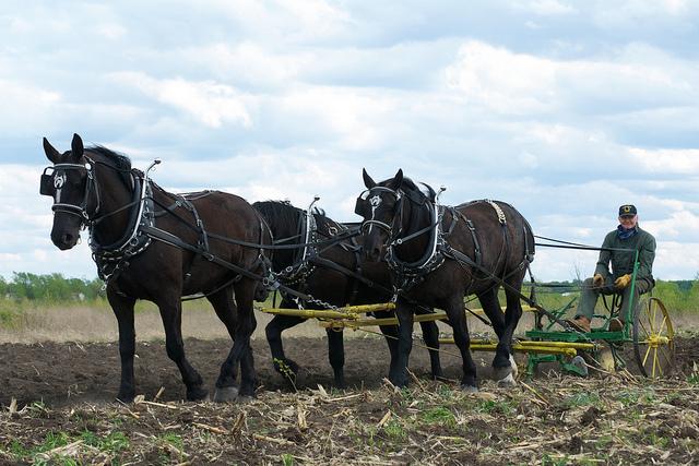 Percheron draft horses pulling a plow